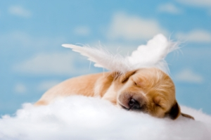 A one week old Golden Retriever puppy asleep on a cloud,